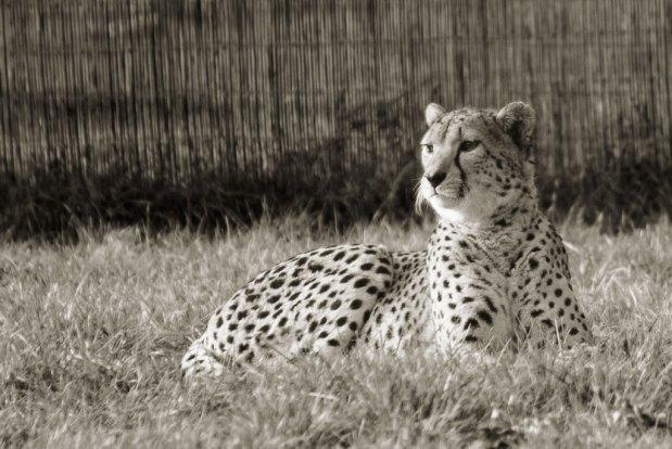 Cheetahs and whisskas
