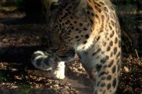 Leopard-pacing
