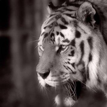 Tiger-pacing-b+w