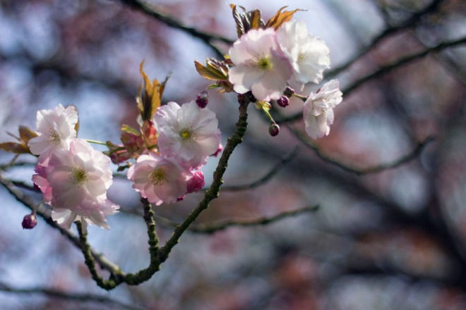 cherry-blossoms_0008